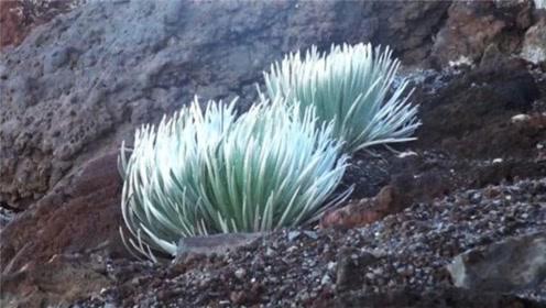 长在火山附近的珍稀植物,60年一开花,开花即预示死亡!