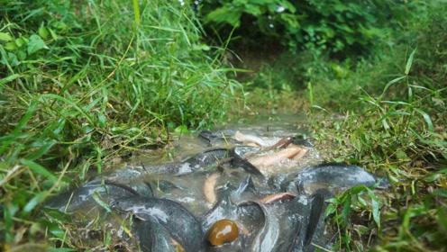农村生活:小伙子田间抓鱼,野鱼当然徒手抓才过瘾