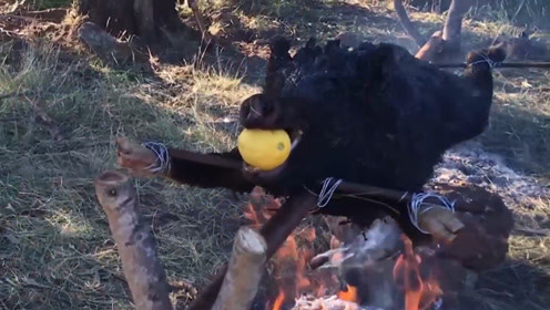 难怪外国野猪会泛滥,猪毛都不处理就架火烤,这做法不忍吐槽!