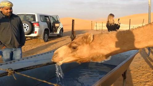 骆驼几周没喝水,看到水一口气喝100公斤?怪不得能在沙漠生存