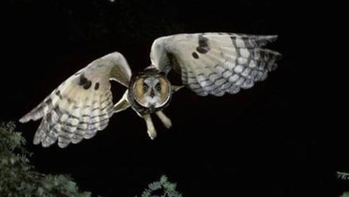 猫头鹰飞行,翅膀竟一点声音都没有?老外做实验,结果让他惊了!