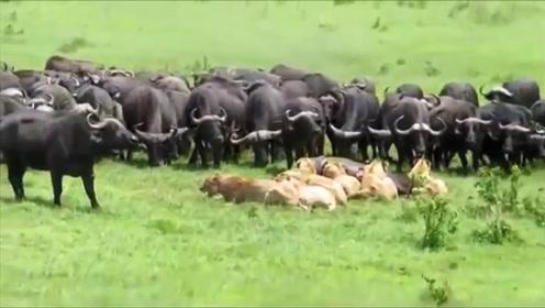80只野牛找狮子报仇,把狮群打得落花流水,镜头拍下精彩一幕