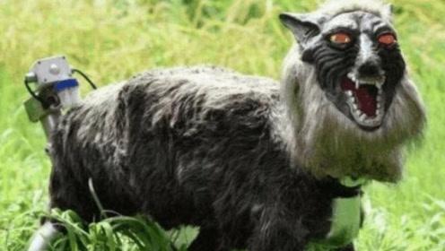 """日本""""超级恶狼""""诞生,不仅能把野猪吓跑,有时候人也会被吓到"""