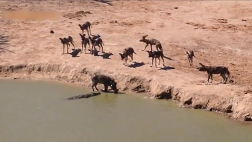 疣猪惨遭野狗群围攻,迫于无奈进入水中,接下来的一幕更加凄惨