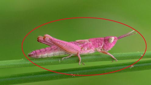 粉红色的蚱蜢,国外摄影师已经在同一个地方发现三次是大面积的吗