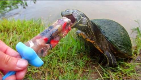 趣味实验:乌龟吃冰棒是一种什么体验?镜头记录乌龟这一幕