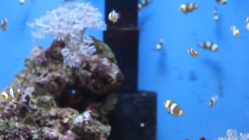 小丑鱼的宝宝长什么样子的?网友:这小鱼苗也太可爱吧