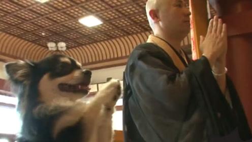 """最信佛的狗狗!每天坚持在佛前""""祷告"""",4年跟随主人吃斋度日!"""
