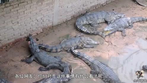 饲养员用活鸡投食鳄鱼,鸡想装死躲过一劫,不料饲养员竟这样做