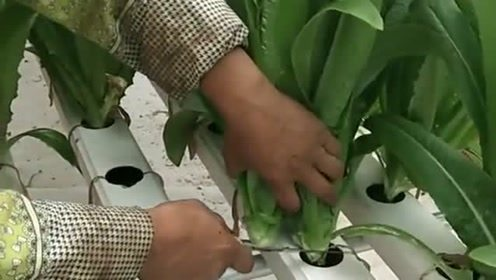 第一次见无土裁培,高科技看来还是可以的,生长的非常新鲜!