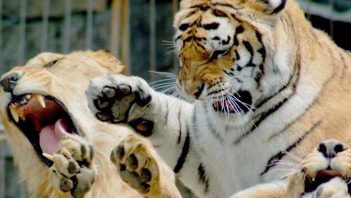 动物园老虎与雄狮爆发大战,若非饲养员一声断喝,其命休矣!