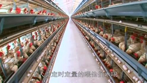 超市鸡蛋不是母鸡下的?实拍生产鸡蛋全过程,看完涨知识了!