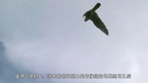 世界上最快的动物,时速快过高铁,美国隐形轰炸机仿它而成!