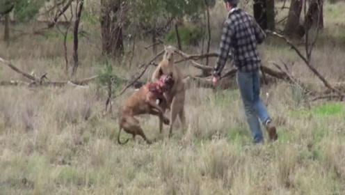 爱犬被袋鼠蹂躏,主人到场后,袋鼠理解了什么叫打狗还要看主人!