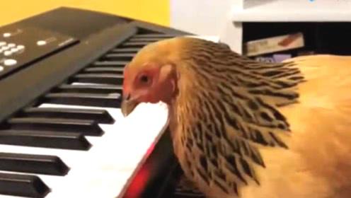 母鸡会弹钢琴?竟然演奏的是名曲,母鸡:快来夸夸我