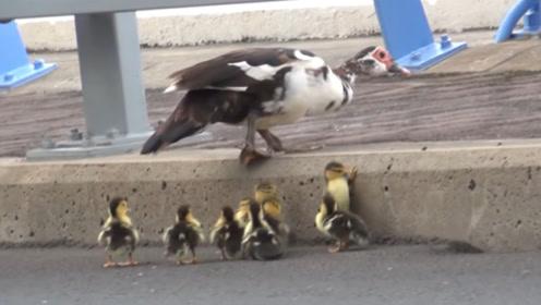 鸭妈妈带小鸭散步,粗心丢了只鸭宝宝浑然无知,一起来看看!