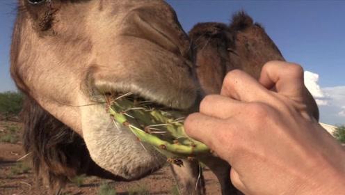 仙人掌全身是尖刺,为什么骆驼吃不会被扎嘴巴?今天可算知道了