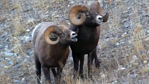 动物界最悲催的一次求偶,2只公山羊打了半天,母山羊却跑了