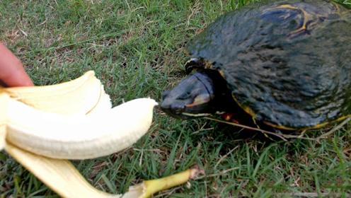 乌龟会吃香蕉吗?一起来看看实验结果