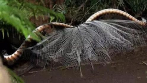 """长相奇葩的鸟,尾巴上长了两条""""蛇"""",它的羽毛看起来就像蜘蛛网"""