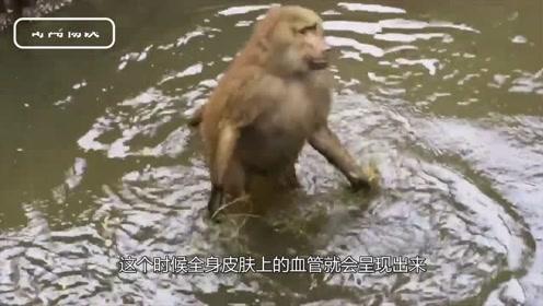 动物园猴屁股为什么那么红?真相让人尴尬,是管不住吗?