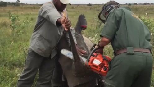 犀牛角被硬生生切割,镜头记录下不忍直视的画面!