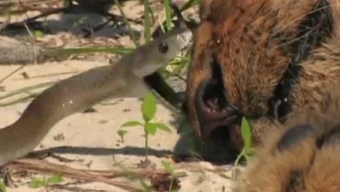 狮子被黑曼巴咬了一口,下一秒瞬间陷入癫狂,镜头拍下全过程