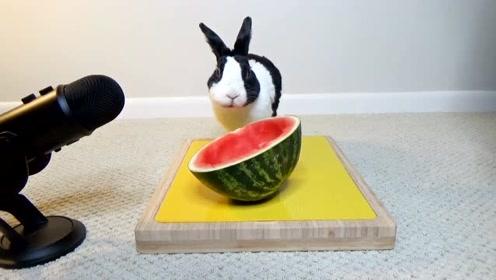 吃剩的瓜皮怎么办?吃货小兔子来帮忙,吃的嘎嘣脆