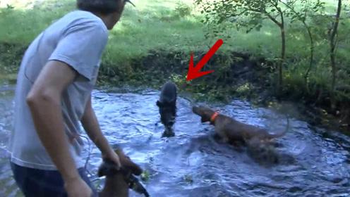一群狗狗在河边大叫,主人走进一看发现一个大家伙,顿时乐坏了