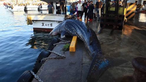 """鲸鲨""""自投罗网"""",跳上了码头搁浅,渔民又给扔回海里:快滚!"""