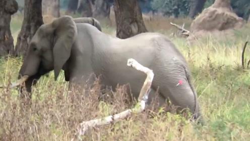 一头野生大象不停的用头撞树,一直不愿意停下来,什么情况?