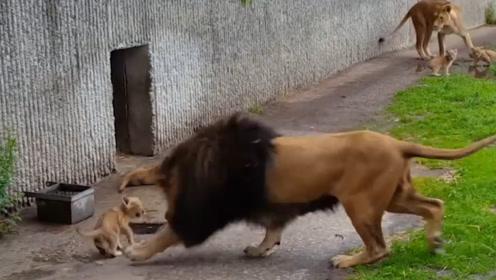 雄狮发狂,一巴掌将自己儿子拍翻,雌狮走了过来,下一秒憋住别笑