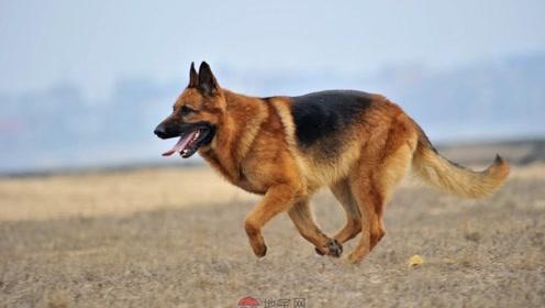 狗狗是小孩子的守护星,小主人哭着回家,德牧霸气:谁欺负我弟弟