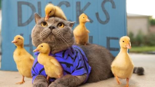 迈克猫帮助5只鸭子过马路,被误当成鸭妈妈,小猫会怎么办?