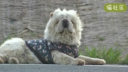有人知道为什么这只松狮犬被遗弃在街上吗?
