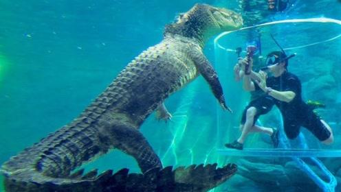 进入笼子近距离观察鳄鱼是种什么体验?老外大胆尝试,心情很复杂