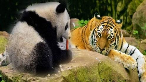 为什么狮子老虎都不敢攻击大熊猫?得知另一个名字后,这下终于明白了!