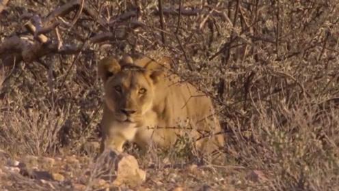 狮子抢夺鬣狗的食物,还没吃上几口,就被攻势猛烈的鬣狗赶走了