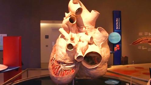 世界上最大的心脏,你知道是什么动物吗?就放在加拿大博物馆!