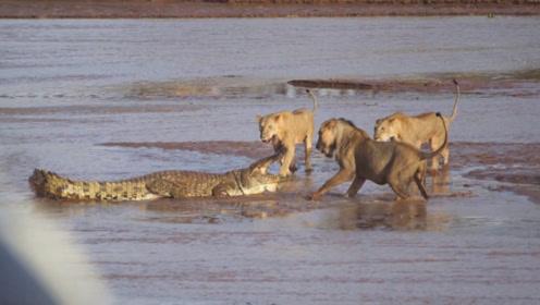三只狮子围攻一条鳄鱼,战况太激烈了,结果却让人意外
