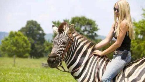 斑马比马的耐力更强,为什么没人骑斑马?斑马:你试试看