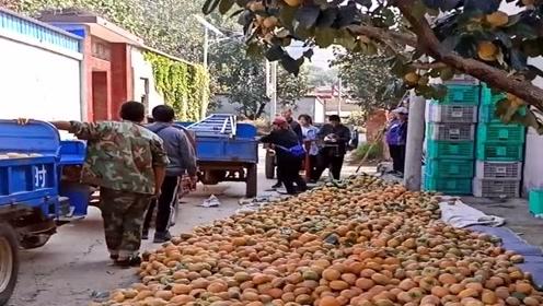 农村人有口福了,今年的柿子大丰收,直接堆在地上随便吃!