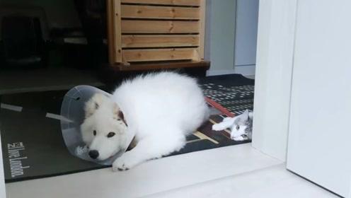 萨摩耶生病了,小猫咪尽心尽力的照顾小狗狗,还真是可爱