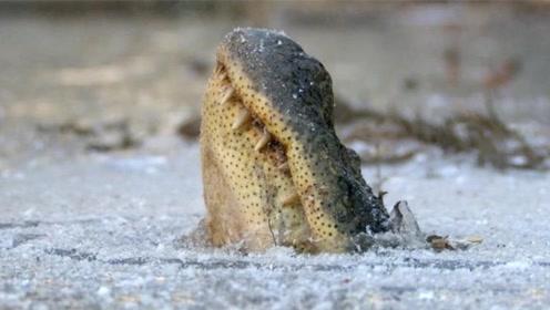 全球最悲催的短吻鳄,鼻子被冻在冰面上,依然顽强存活了下来!