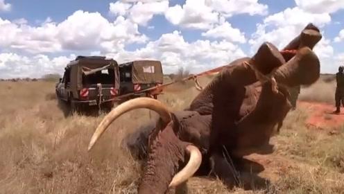 大象肉是啥味道呢!为啥非洲人特别的喜欢吃,看完总算明白了