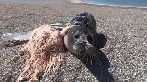 海豹被绳子缠绕多年,当救援人员拿下绳子时,瞬间泪崩了