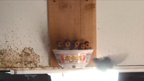 燕子筑巢时老是不稳,暖心老板就拿来泡面碗,给它们当新家