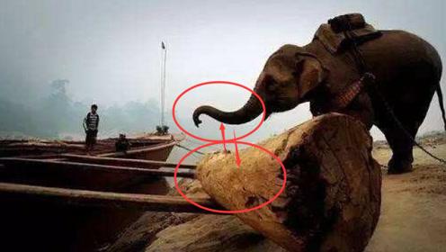 柬埔寨特殊伐木手段,不用锯子全靠嘴,这场面第一次见!