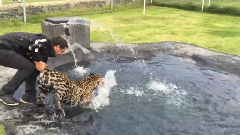 """豹子正在池边玩水,没想到遭到饲养员""""暗算"""",接下来忍住别笑!"""
