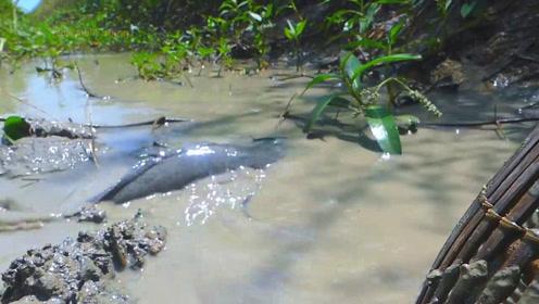 野溪水还没舀干,大野货已经忍不住溜了出来,瞬间让人产生抓鱼的冲动